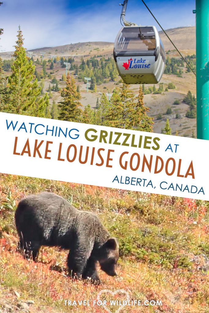 Ride the Lake Louise Gondola in Alberta, Canada and spot some grizzly bears while you are it. The Lake Louise Gondola is just 4 miles to Lake Louise, so there is time in one day to visit the lake and take the famous Plain of Six Glaciers hike!