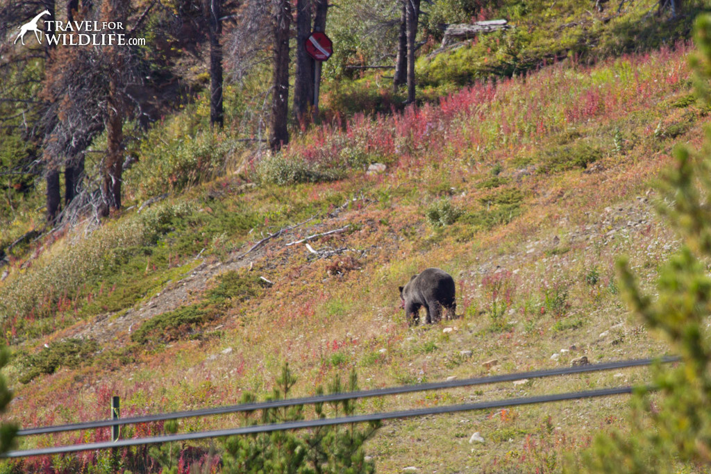 Bear 138, also known as Joe, feeding next to the lift at the Lake Louise Gondola