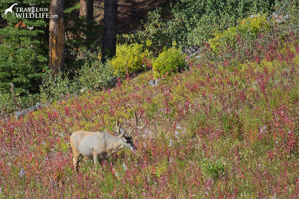 A large mule deer buck below the lift.