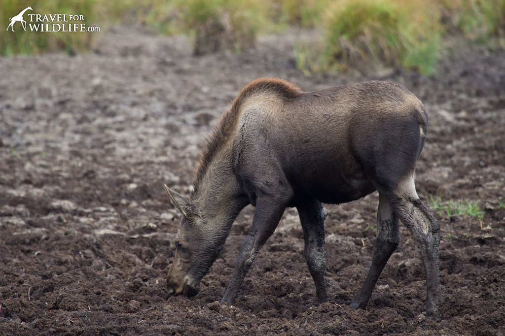 What do moose eat? selenium-rich mud!