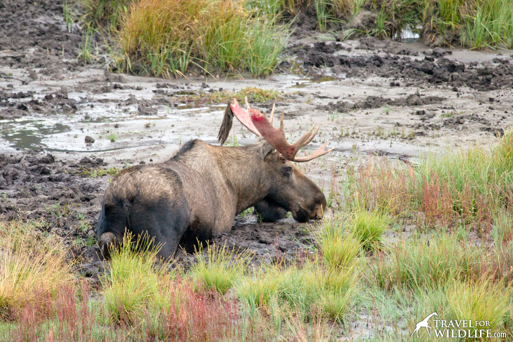 moose eating mud