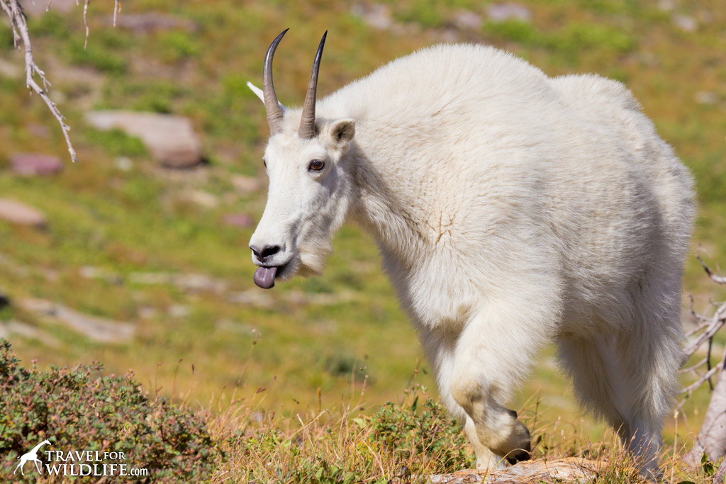 A billy goat flicks his tongue in and out while checking out a female mountain goat.
