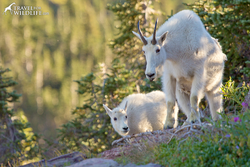 A baby mountain goat follows his mother closely through the rocky terrain.