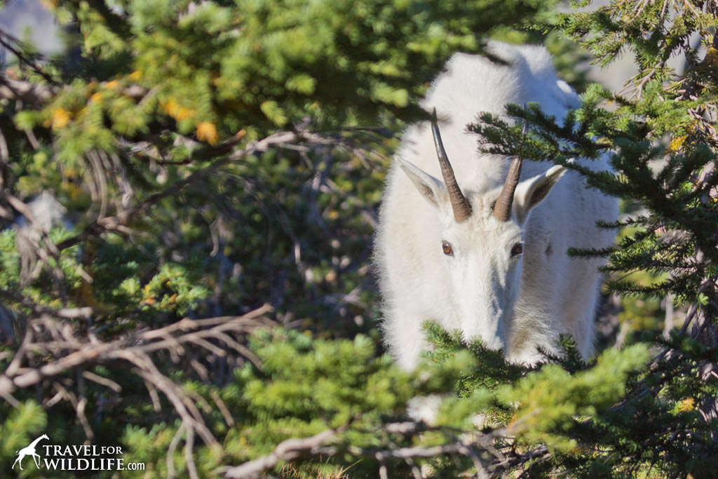 A mountain goat browsing on the sub-alpine vegetation of Logan Pass