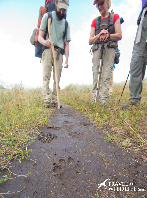 hikers find wolf tracks in Yellostone