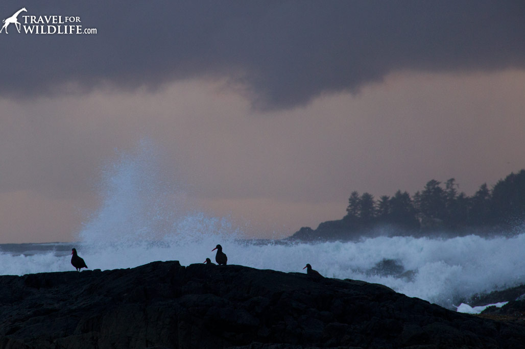 Black Oystercatchers comb the rocks during a stormy sunset.