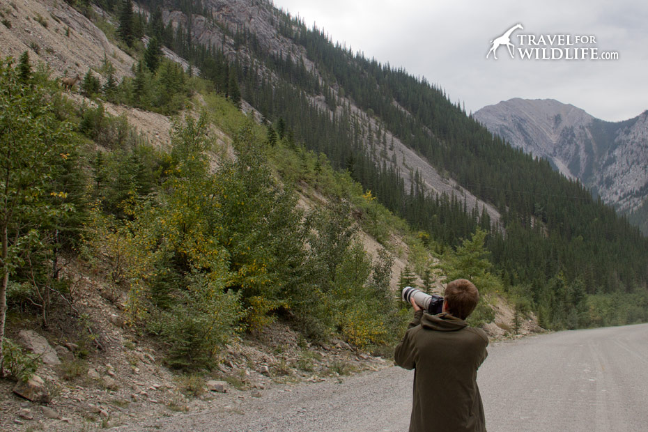 Photographing bighorns from the road