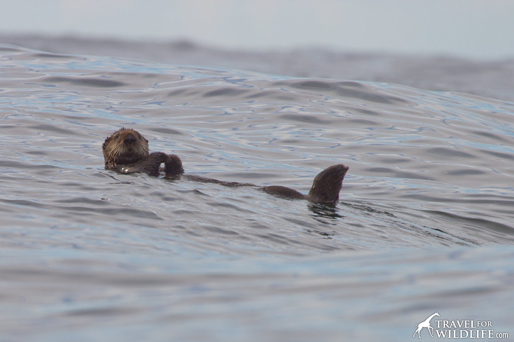 Sea Otters are making a comeback around Tofino. Sighted on whale tour with The Whale Centre.