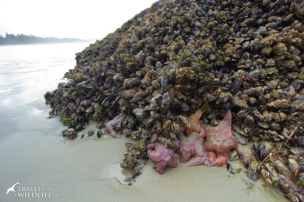 Ochre Sea Stars exposed at low tide in front of the Wickininnish Inn