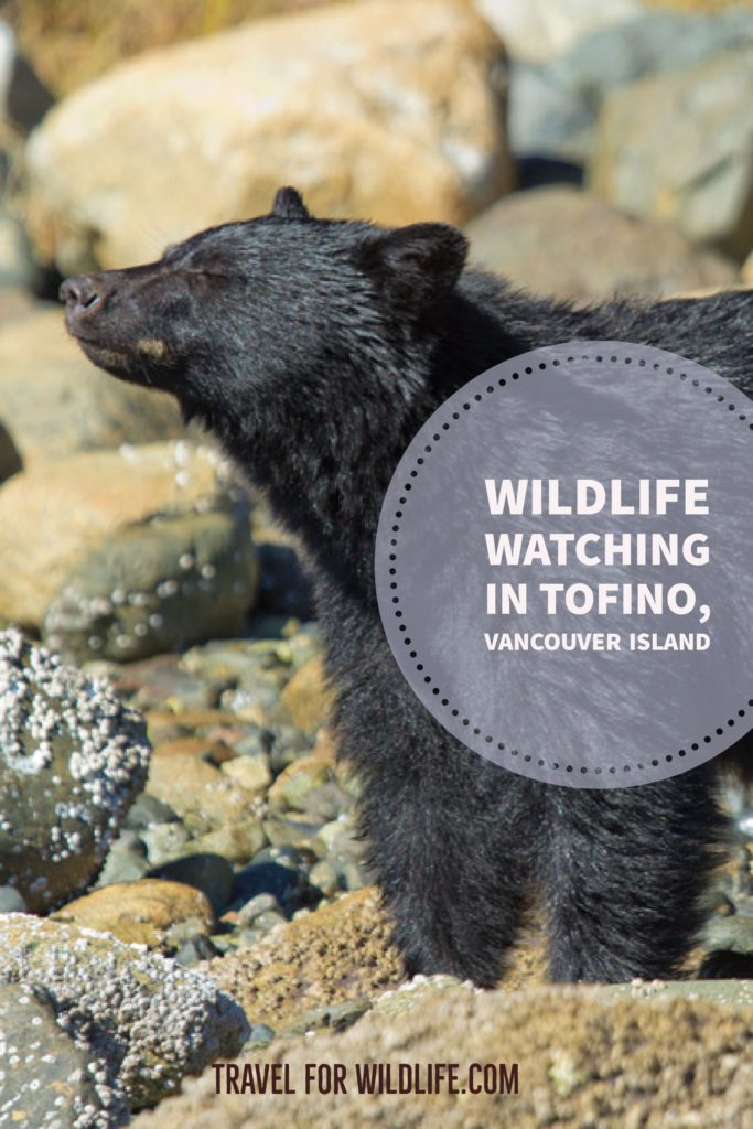 When you visit Vancouver Island keep an eye open for wildlife. Wildlife watching in Tofino and bear watching must be in your itinerary! #VancouverIsland #Vancouver #Canada #WhaleWatching #Tofino #BC