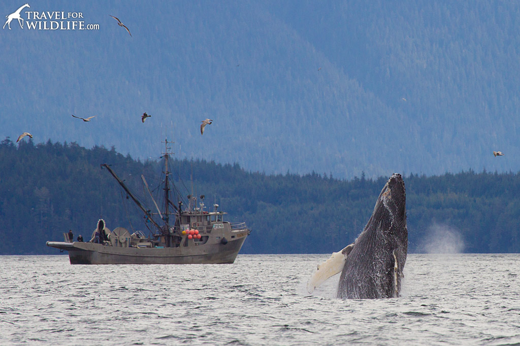 A humpback whale breaching next to a fishing boat during a Nimmo Bay whale watching tour