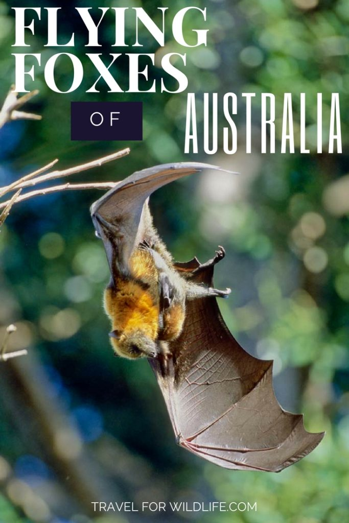 The Grey Headed Flying Fox is one of Australia's biggest bats. With their sweet fox-like faces it's no wonder they are one of the cutest Australian animals. Flying Foxes of Australia. #Australia #wildlife