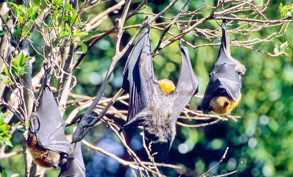 Grey headed flying fox pooping