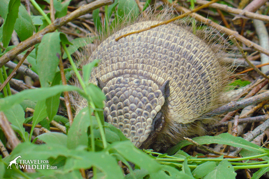 Keep you're eyes peeled for the Hairy Armadillo while touring Patagonia!
