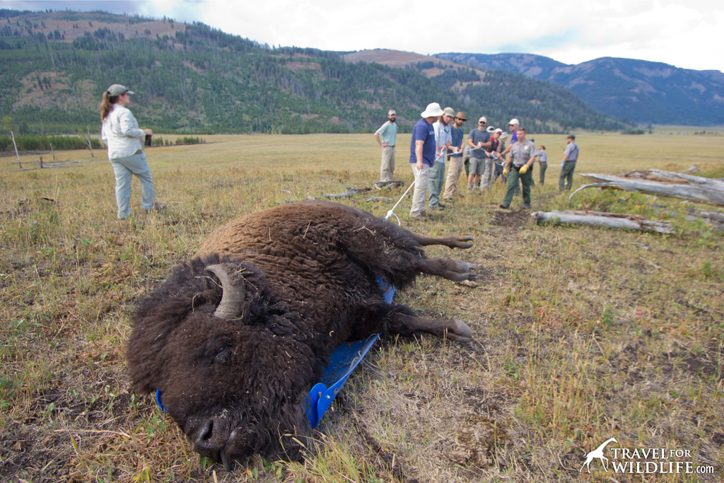 Unexpected experience: Helping the park service haul a dead bison away from the trail.