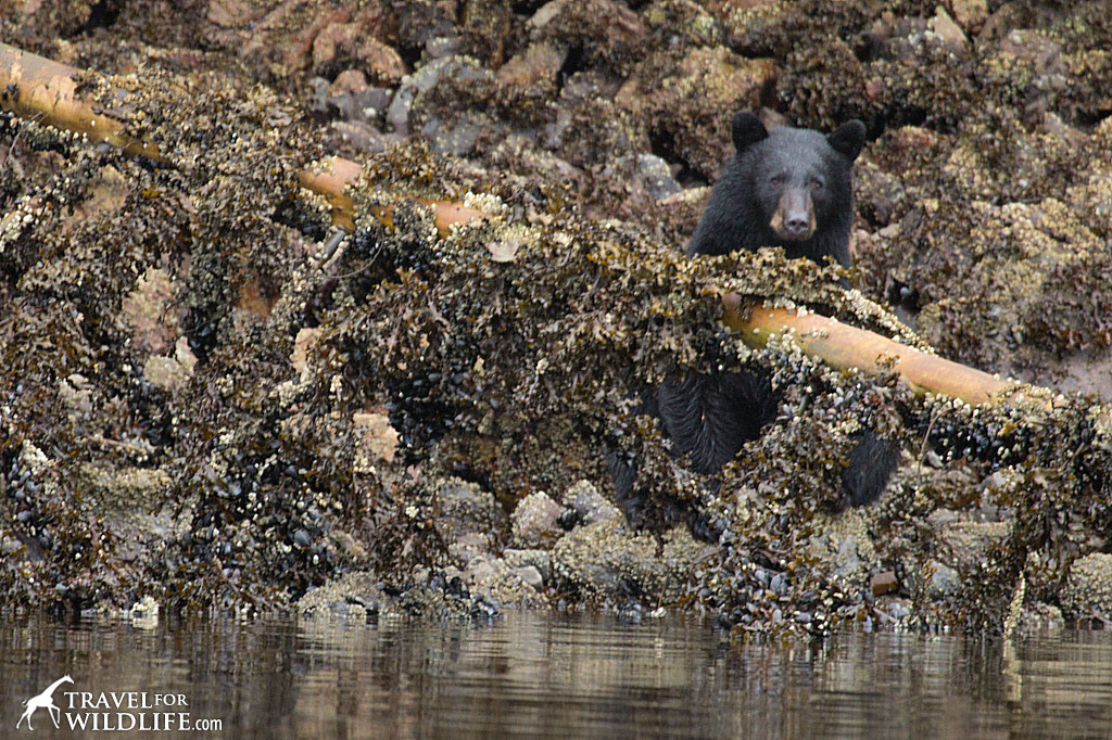 Black bears search for crabs beneath rocks at low tide in Big Nimmo Bay