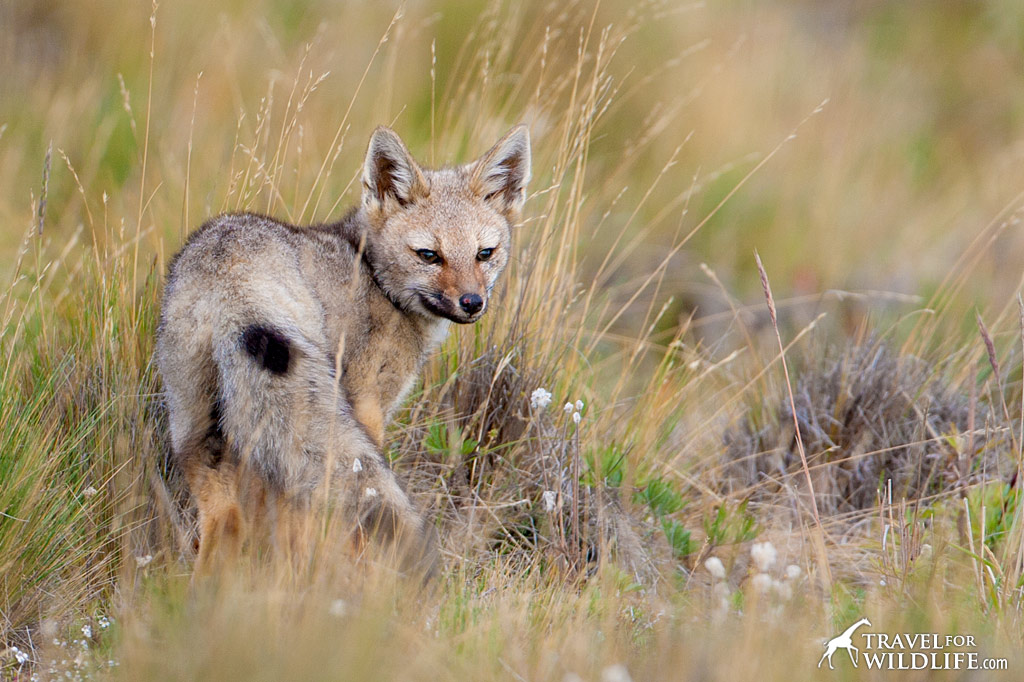 Spotting a Chilla Fox (South American Grey Fox) is a highlight of driving through Patagonian grasslands.