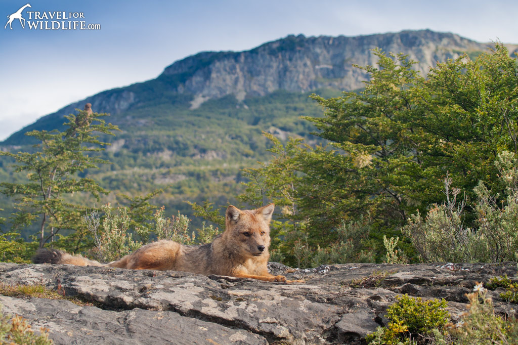 Culpeo Foxes are a common sight in Tierra Del Fuego National Park
