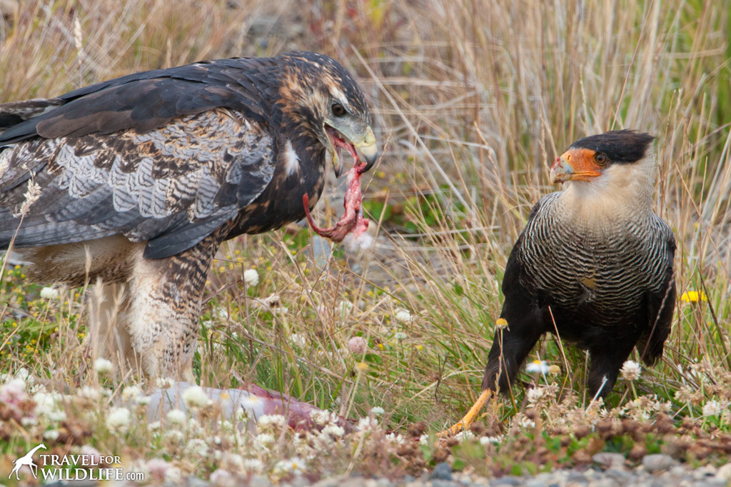 Condors and other scavengers like this hawk and crested Caracara are common in southern Patagonia