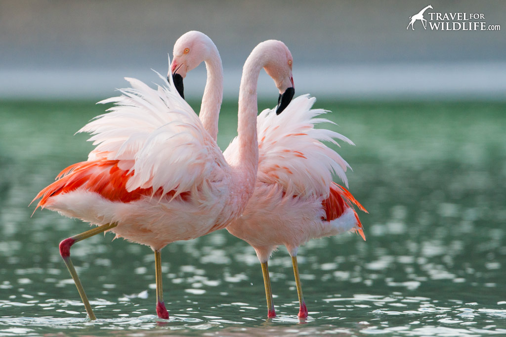 Chilean Flamingos are one the many beautiful bird species found in Patagonia.