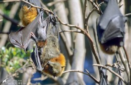 grey headed flying fox with baby in Australia