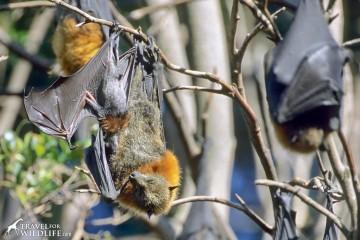 grey headed flying fox with baby in Australia