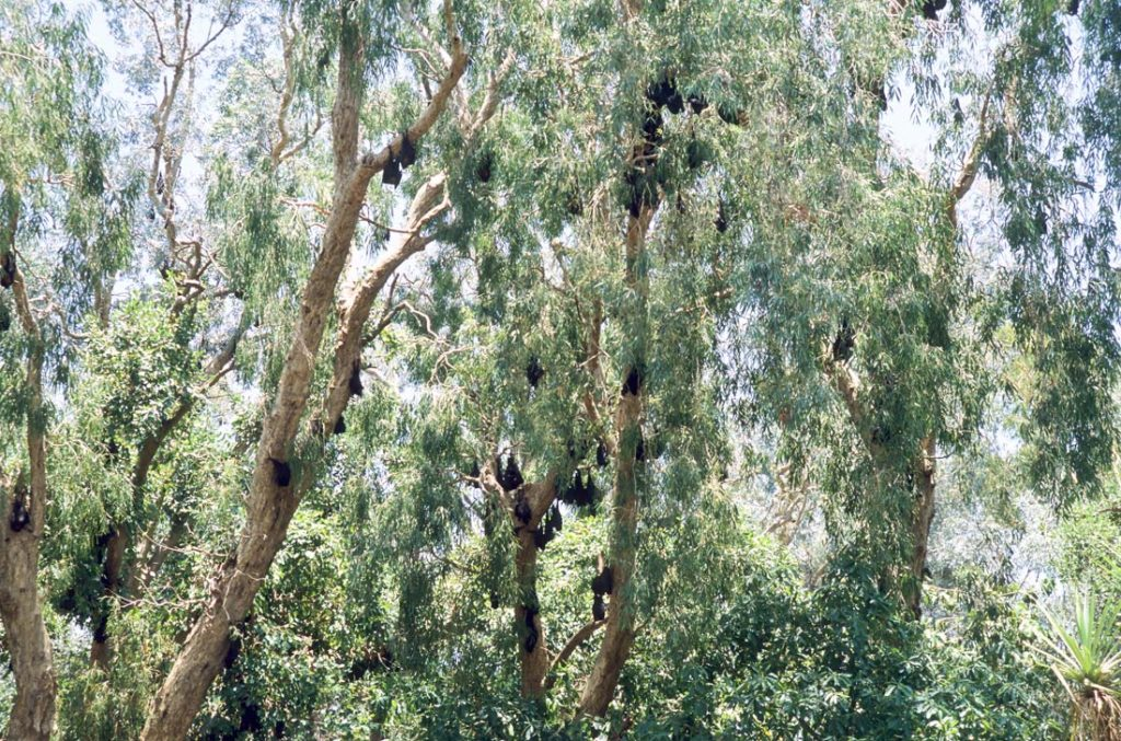grey headed flying foxes roosting