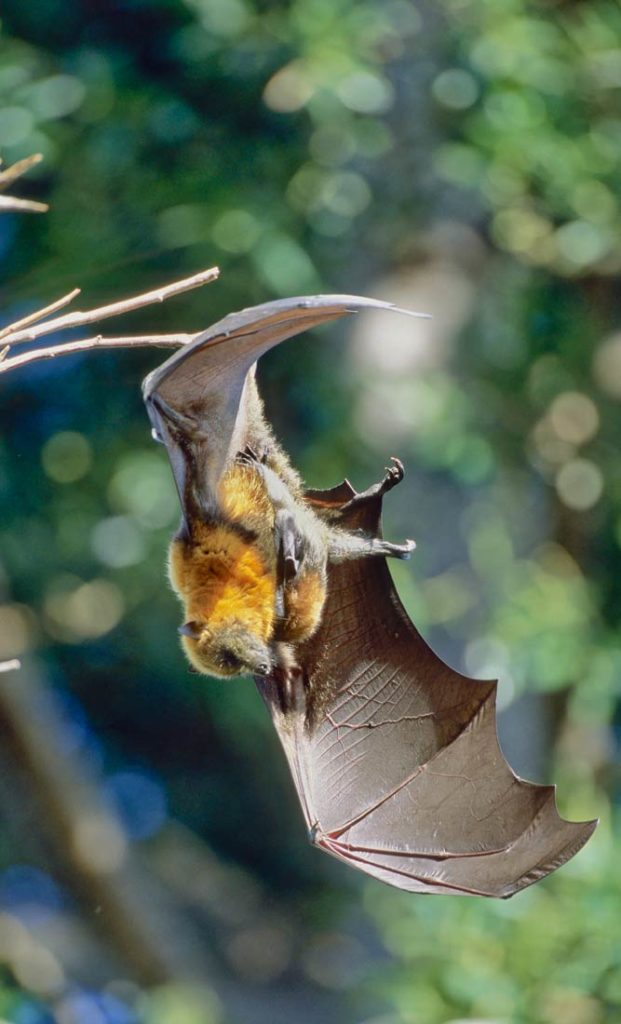 Flying fox mom with baby