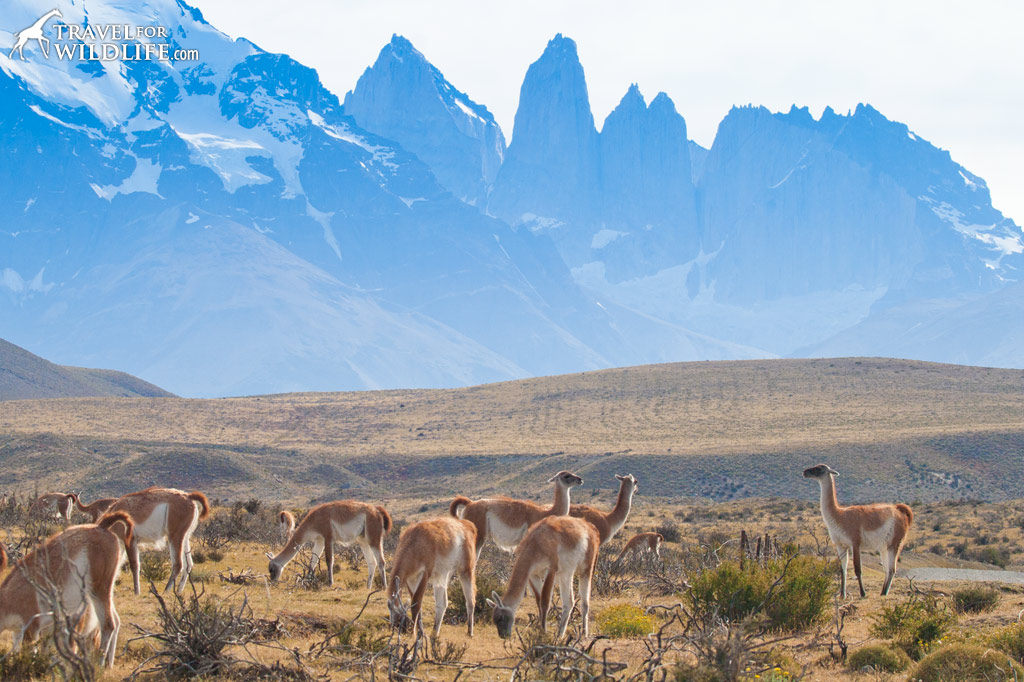 Guanaco are plentiful at Torres del Paine National Park in Chile