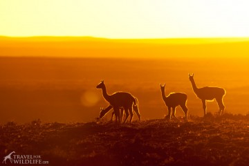 Patagonia - guanaco sillhouettes at sunset