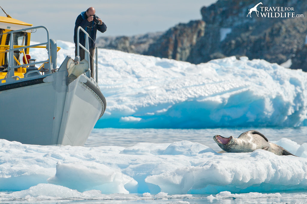 Get up close and personal with one of Antarctica's top predators, the Leopard Seal