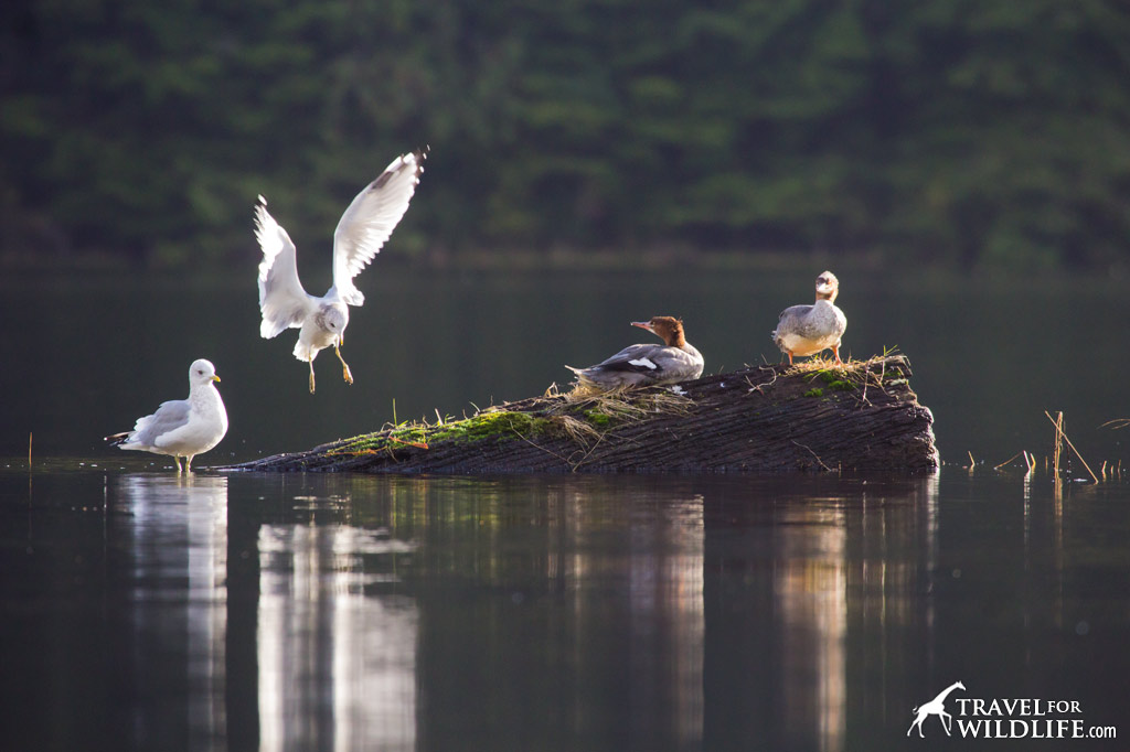 Mergansers and gulls squabble over a perching log