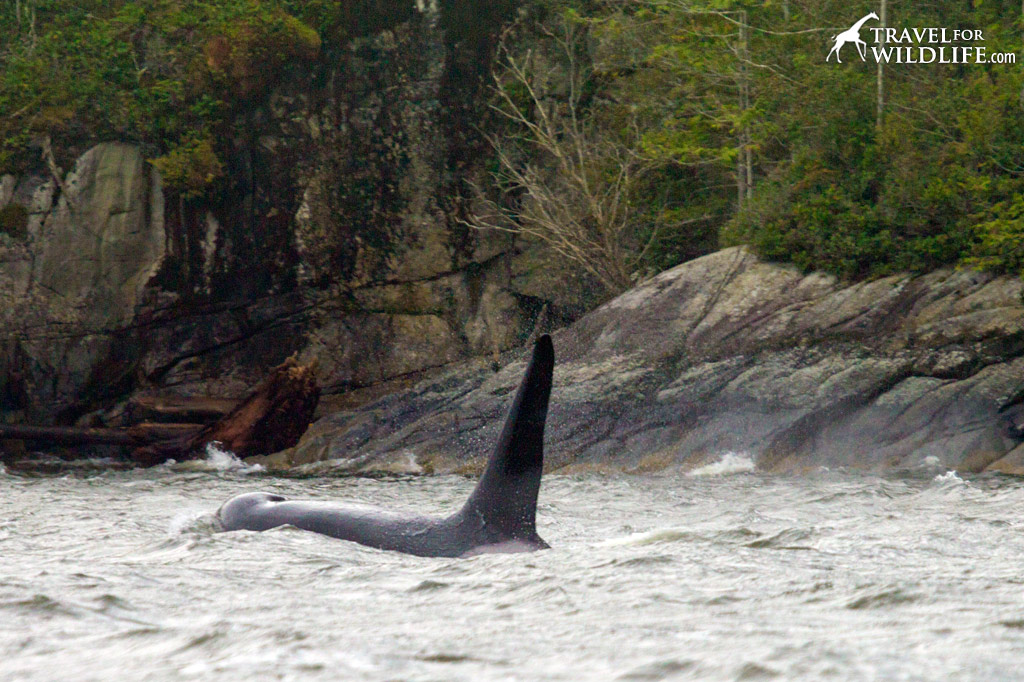 Welcome to Nimmo Bay, where orcas and bears live side by side