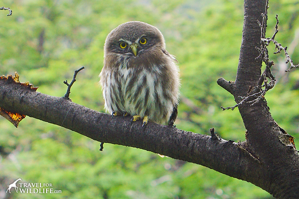 Patagonia is a bird-watcher's paradise. Austral Pygmy Owl.