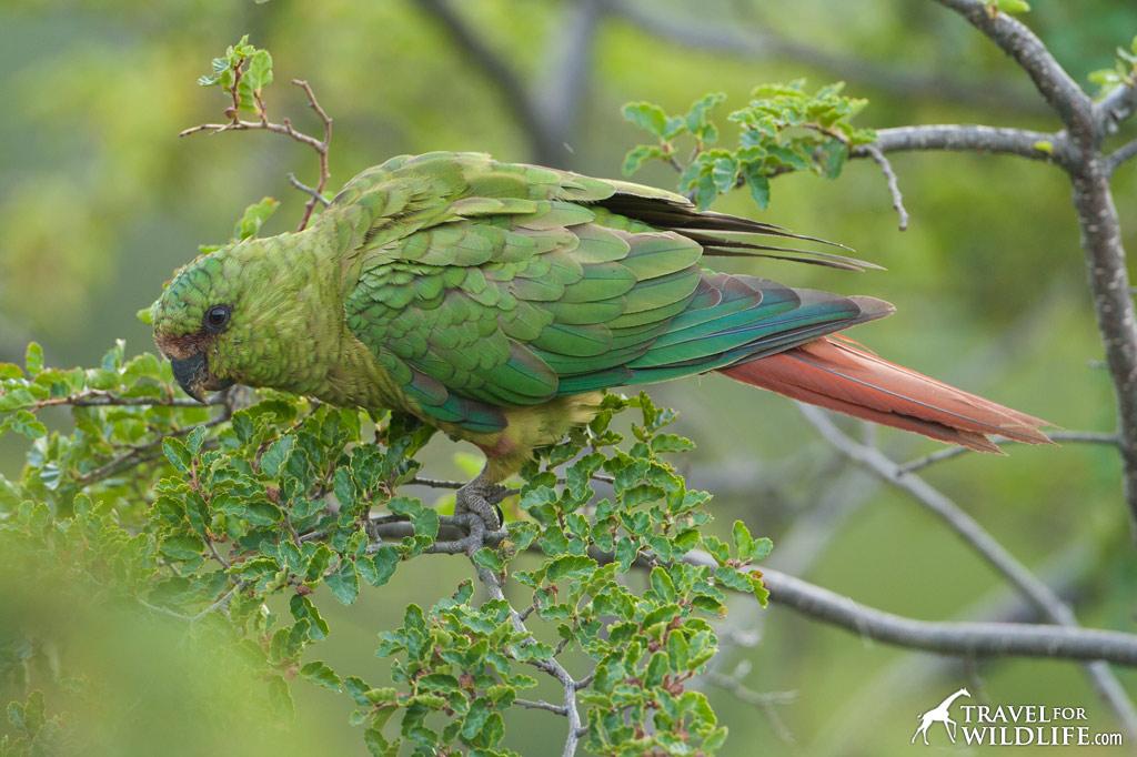 Austral Parakeet, Austral Conure, Emerald Parakeet