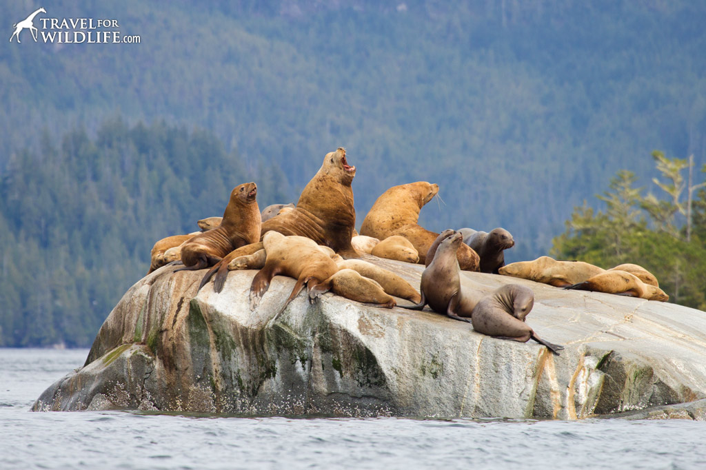 A large male Steller Sea Lion roars while the females look on. British Columbia