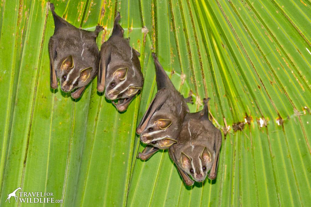 Tent making bats resting