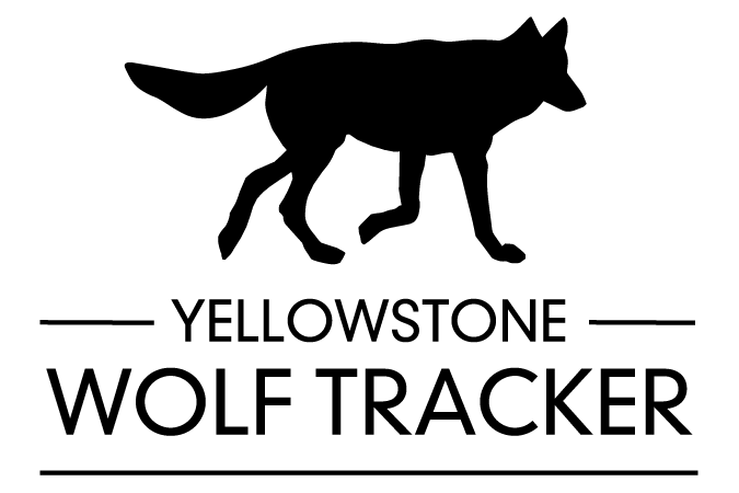 wolf tracker Yellowstone
