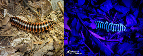 Millipede under daylight and uv light