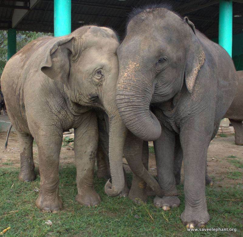 Asian elephant family having a hug