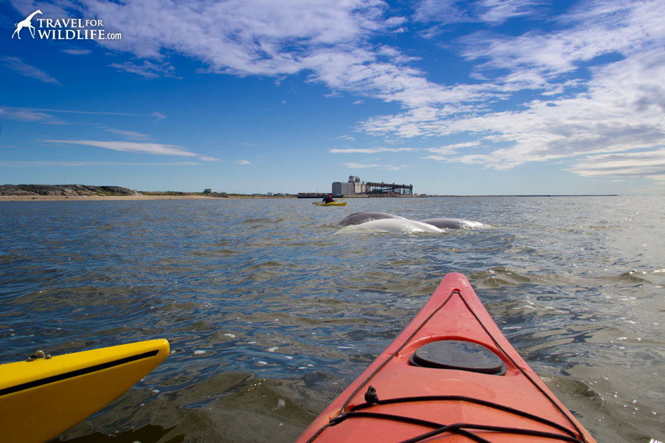Kayaking with beluga whales in Churchill