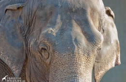 What do Asian elephants eat?