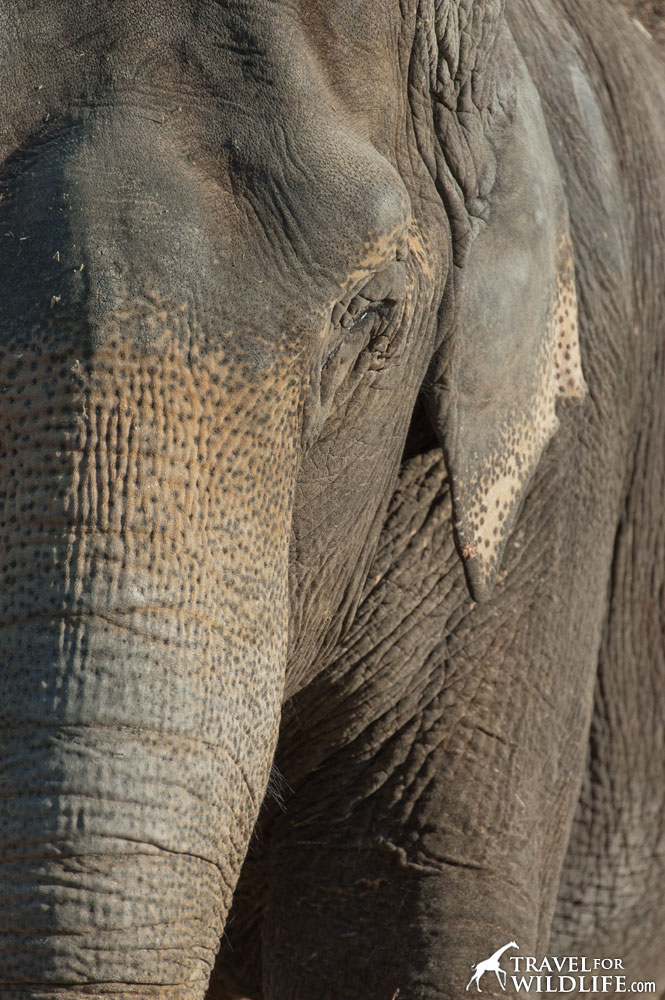 Asian elephant portrait with its eyes closed