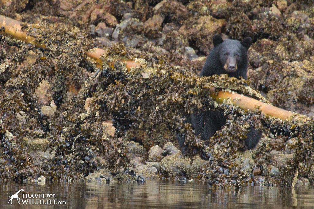Black bear foraging at low tide along Nimmo Bay in the Great Bear Rainforest
