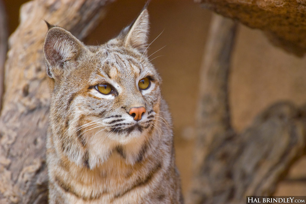 Bobcat looking up