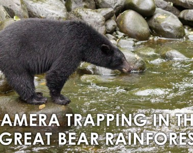cameratrapping-great-bear