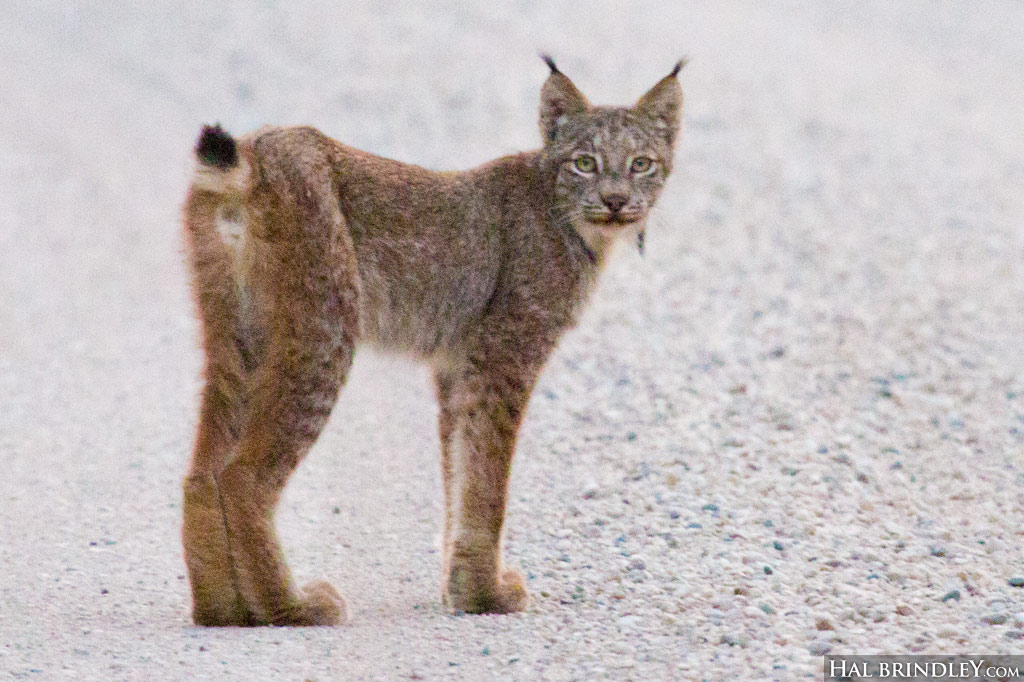 Canada Lynx tail showing black tip
