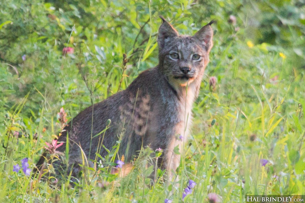See lynx in Riding Mountain National Park!