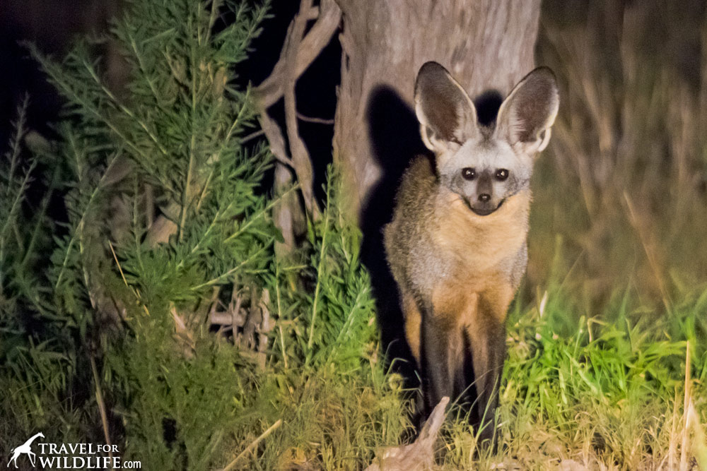 Bat-eared fox standing, looking at the camera.