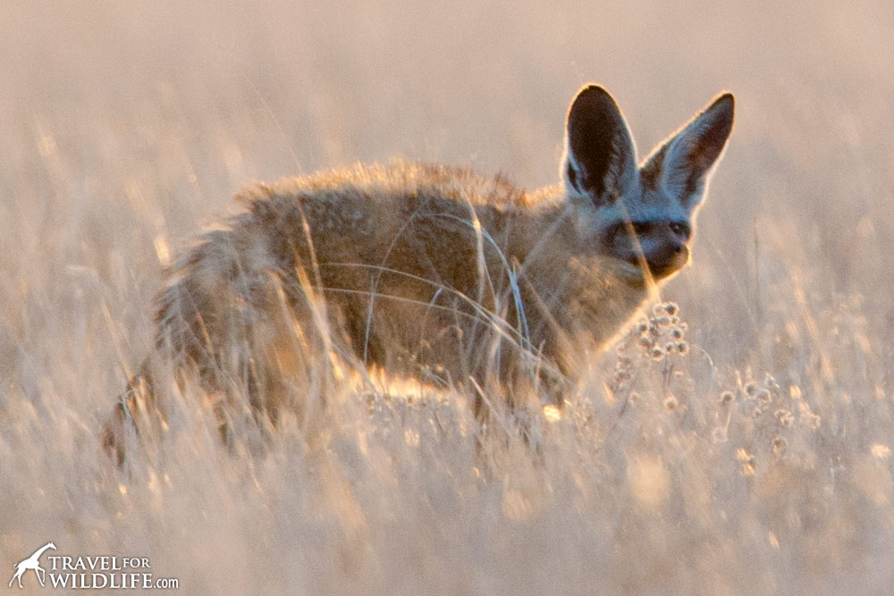 A bat-eared fox standing in the grass